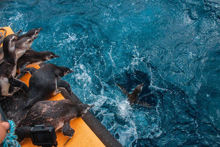 aumenta-em-35%-numero-de-pinguins-encontrados-na-costa-do-brasil