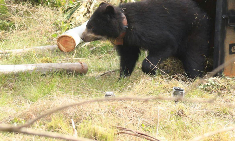 ursa-andina-e-devolvida-a-natureza