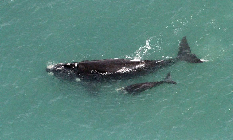 baleia-francanascida-no-brasil-e-vistanasilhasgeorgia-do-sul