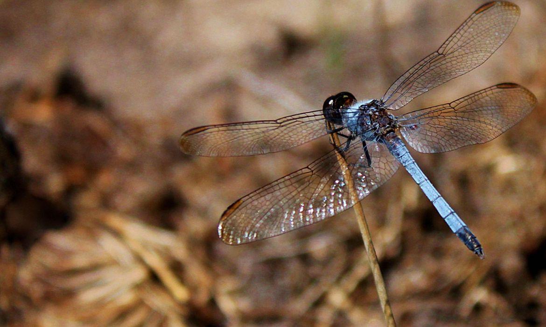 nova-especie-de-libelula-e-descoberta-em-sao-carlos
