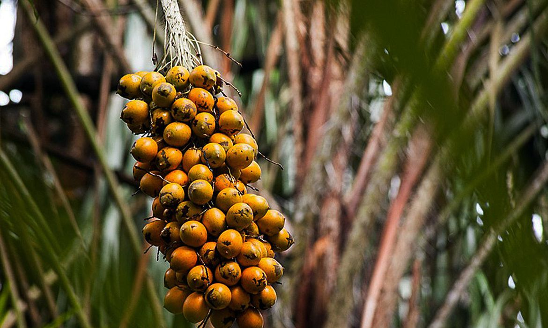 fruto-da-amazonia-pode-substituir-oleo-de-palma