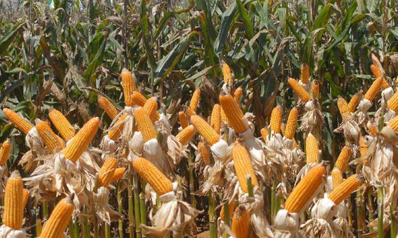 governo-autoriza-conab-a-comprar-milho-para-pequenos-produtores